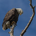 American Bald Eagle by Mr. Greenjeans
