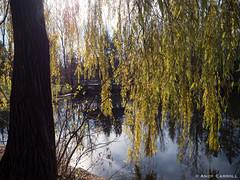 Willow by the water, in Jackson Park