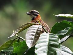 Zonotrichia capensis / Rufous-collared Sparrow / Correporsuelo.  Posado en una planta de Café. Café Amigable con las Aves.