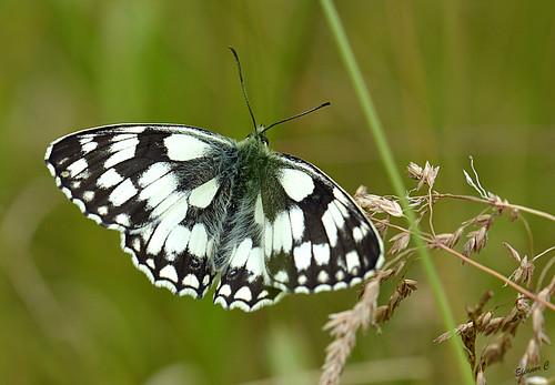 uk england london grass butterfly ngc hendon nikond3200 marbledwhite welshharp 85mmmacrolens july2013 unlimitedinsectslevel1