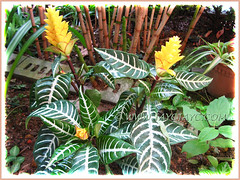 Aphelandra squarrosa 'Louisae' (Zebra Plant) at our garden bed, June 2 2013