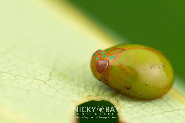 Issid Planthopper (Hemisphaerius sp.) - DSC_0642