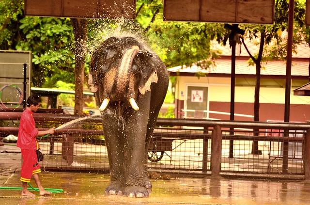 Lavando l'elefante ad Ayutthaya
