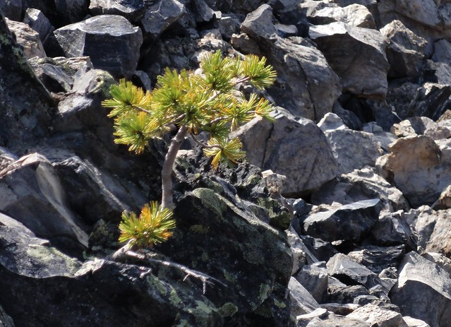 A little tree that is attempting to thrive in very hostile conditions: the Big Obsidian Flow, Newberry Crater, Oregon. It's found its own way to survive.