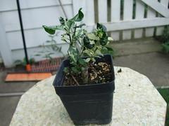 Gardenia from Thailand