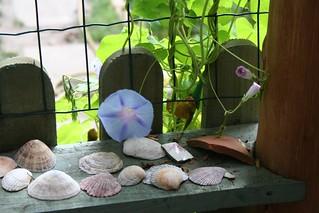 Seashells and morning glory
