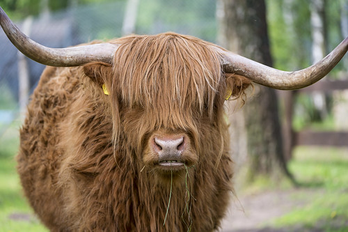 Cute highland bull