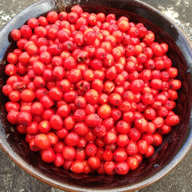 Step one in making Rowan berry wine. Pick and freeze the berries!