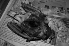 解剖後的紅鳩。(攝影:林惠珊)