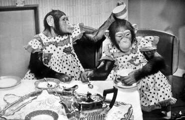 marquis chimps