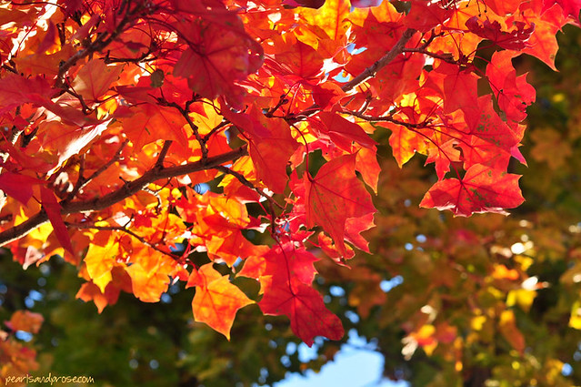 SF_red_leaves_web