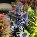 Small photo of Eryngium maritimum, Pleasant Run Nursery