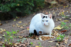 Morningside cat with bi-colored eyes guarding her plate