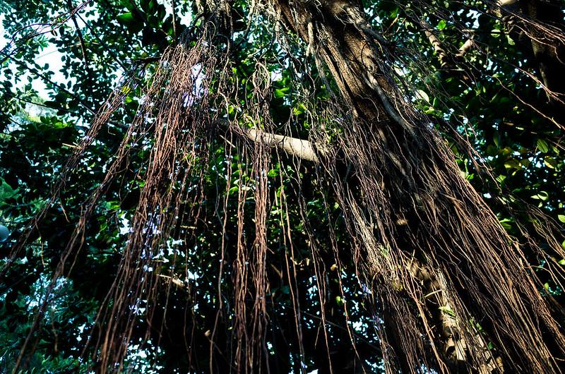 榕树 banian