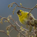 Lugano macho - Carduelis spinus by rio en medio - Jose On/Off