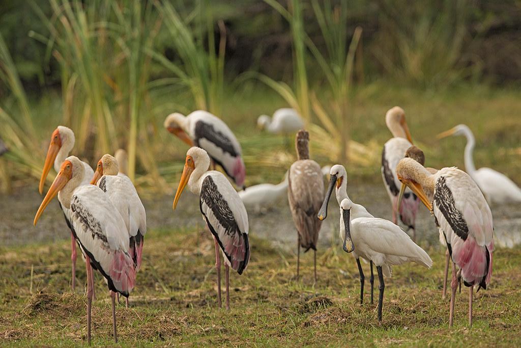 Spoonbill  Sri Lanka 2013-11-29