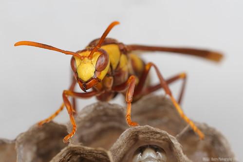 Paper Wasp (Polistes major)