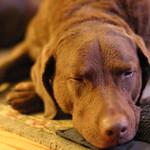 Sleepy row dog