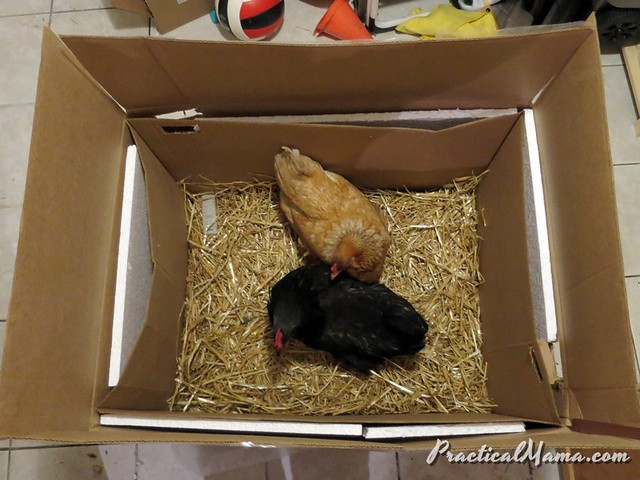 Temporary indoor coop for xtreme weather