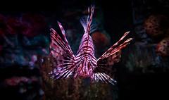 Pterois- The Lion Fish