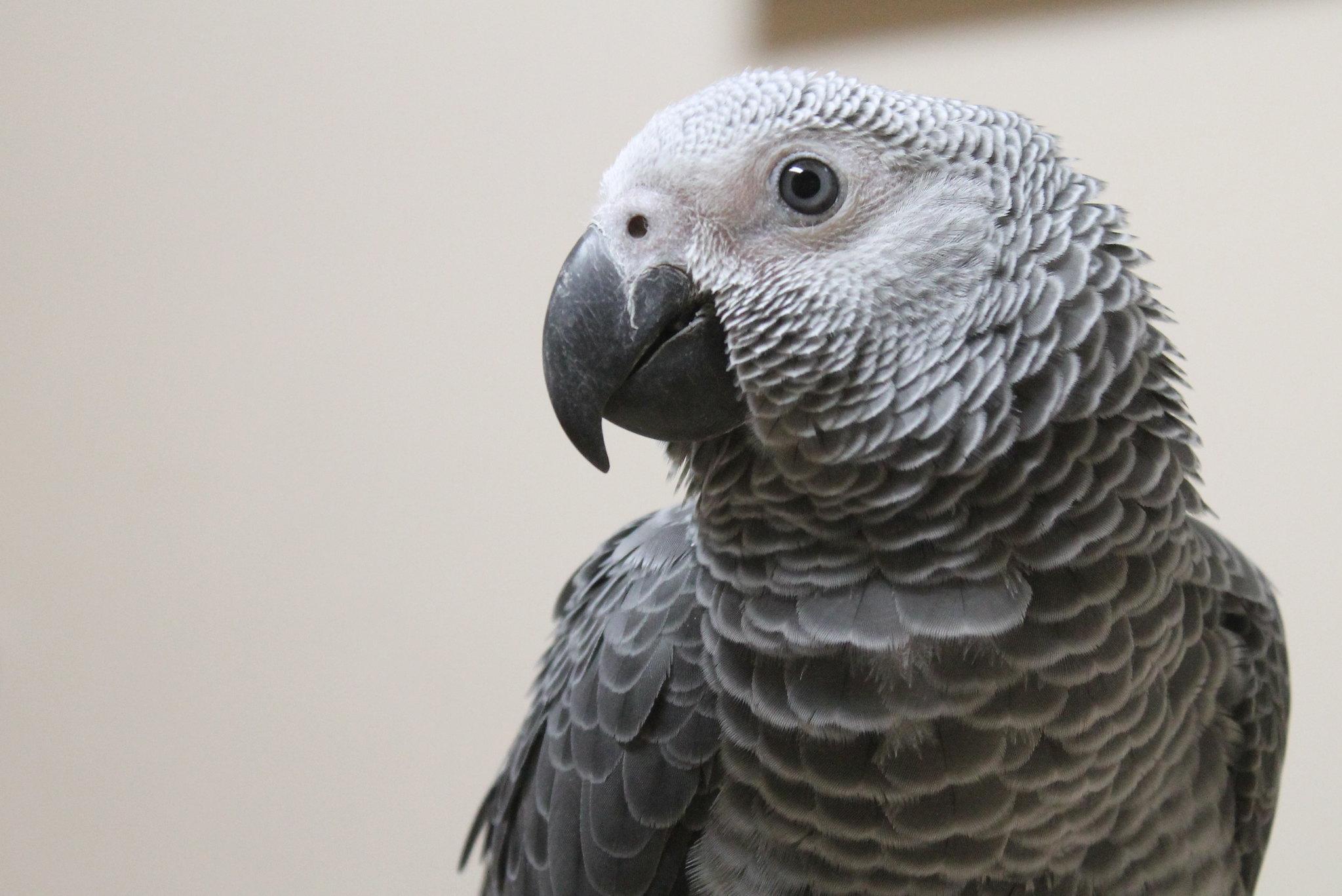 baby African Grey parrot Nov. 2013