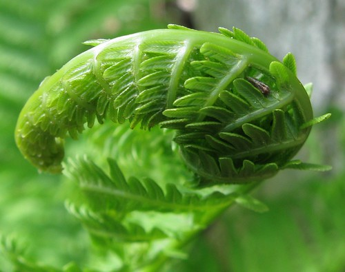 Fiddlehead, Gallistel Woods / Lost City Forest, UW Arboretum