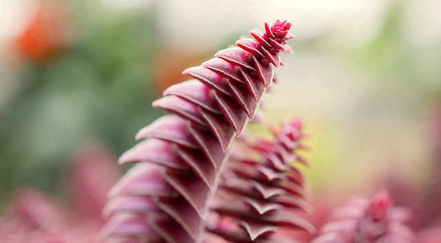 Crassula capitella subsp. thyrsiflora
