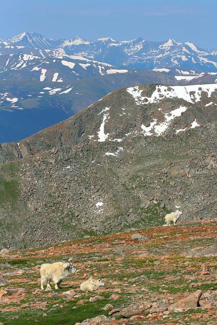 IMG_4602 Mountain Goat