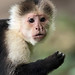 gracile capuchin monkey apenheul JN6A8171