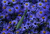 Chinese Mantis On Asters