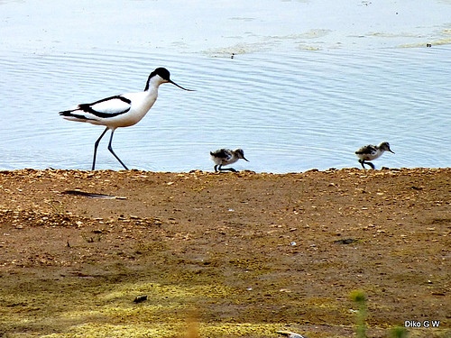 Avocet & Young