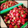 We picked 12lbs or organic strawberries! #upick #strawberries #farm #washingtonstate #paleo
