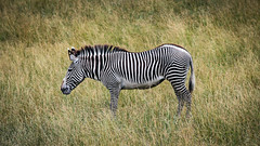 animal, prairie, mane, zebra, mammal, fauna, grassland, safari, wildlife,