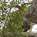 Adolescent Rufescent Tiger Heron