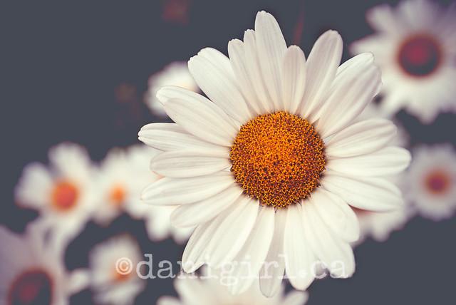 Matte daisies