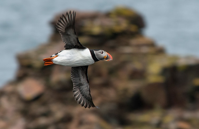 Atlantic Puffin seen in Elliston, Newfoundland Canada