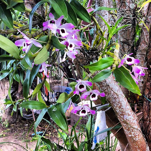 Aos pais, um feliz dia! Orquídeas da Ditinha.  #saltodepirapora #saopaulo #brazil #orquideas #flores