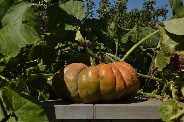 Cucurbita moschata 'Musque de Provence' is in an heirloom pumpkin from the south of France, where it is sold in wedges at farmers' markets. Its flesh is deep orange and moderately sweet. Photo by Blanca Begert