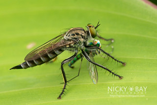 Robberfly (Asilidae) with captured Long-legged fly (Dolichopodidae) - DSC_5300