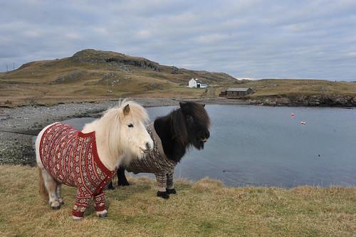 shetland-ponies-cardigans2