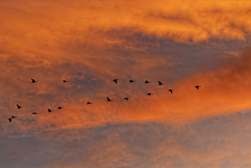 sunset urban nature clouds geese day cloudy flight urbannature dxo sanctuary canadageese allrightsreserved flighing ef70200mmf4lis canon7d copyright2013davidcstephens ef14xtciii dxoopticspro90 img5518dxo