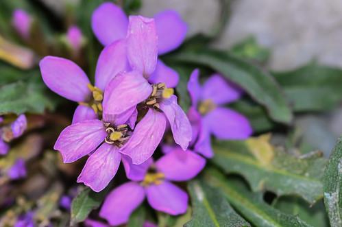 <p><i>Erysimum pallasii</i>, Brassicaceae<br /> Whistlers, Jasper National Park, Alberta, Canada<br /> Nikon D5100, 105 mm f/2.8<br /> July 8, 2012</p>