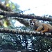Crowned Lemur, Ankarana (Stephen Woodham)