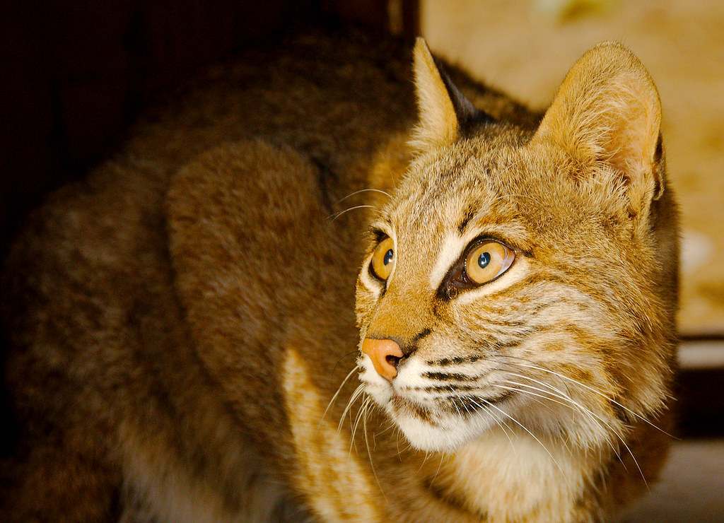 Bobcat (Lynx rufus)_25
