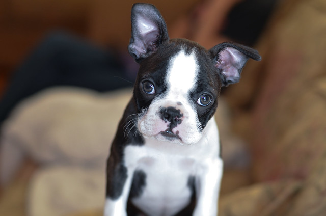 A small Boston Terrier puppy looking at the camera.