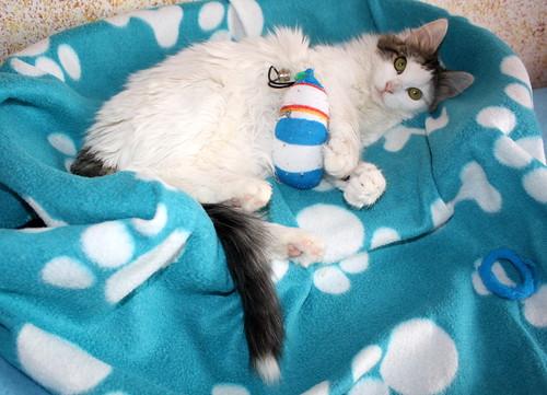Neus, gata blanca cruce Van Turco pelo largo nacida en Julio´13 en adopción. Valencia. ADOPTADA. 12027905685_fde2c91f0d