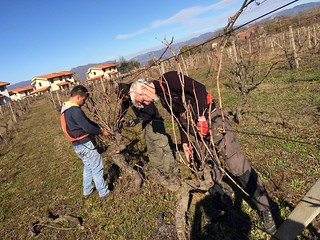 Pruning Rovitello/1
