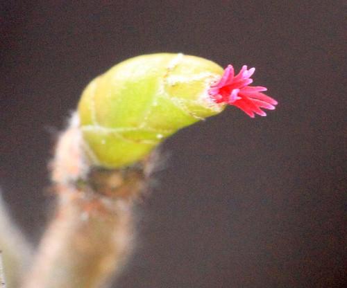 Corkscrew Hazel Flower IMG_7330