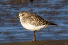 cinclidae(0.0), red backed sandpiper(0.0), european herring gull(0.0), redshank(0.0), gull(0.0), snipe(0.0), animal(1.0), charadriiformes(1.0), fauna(1.0), calidrid(1.0), sandpiper(1.0), beak(1.0), bird(1.0), wildlife(1.0),