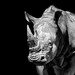 Rhinoceros b&w by pattoise